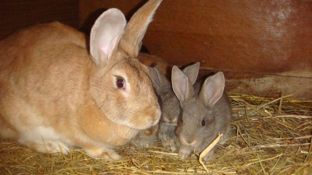 Когда отсаживать крольчат