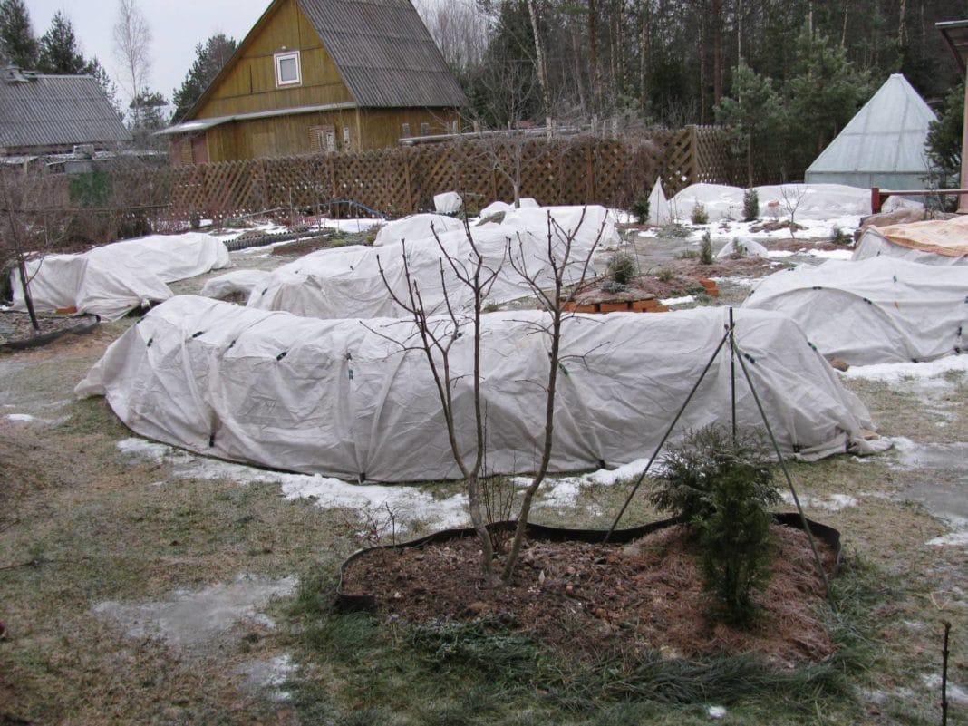 Как правильно снять укрытие с роз весной: секреты садоводов