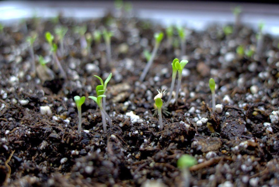 Как правильно выращивать рассаду астры?
