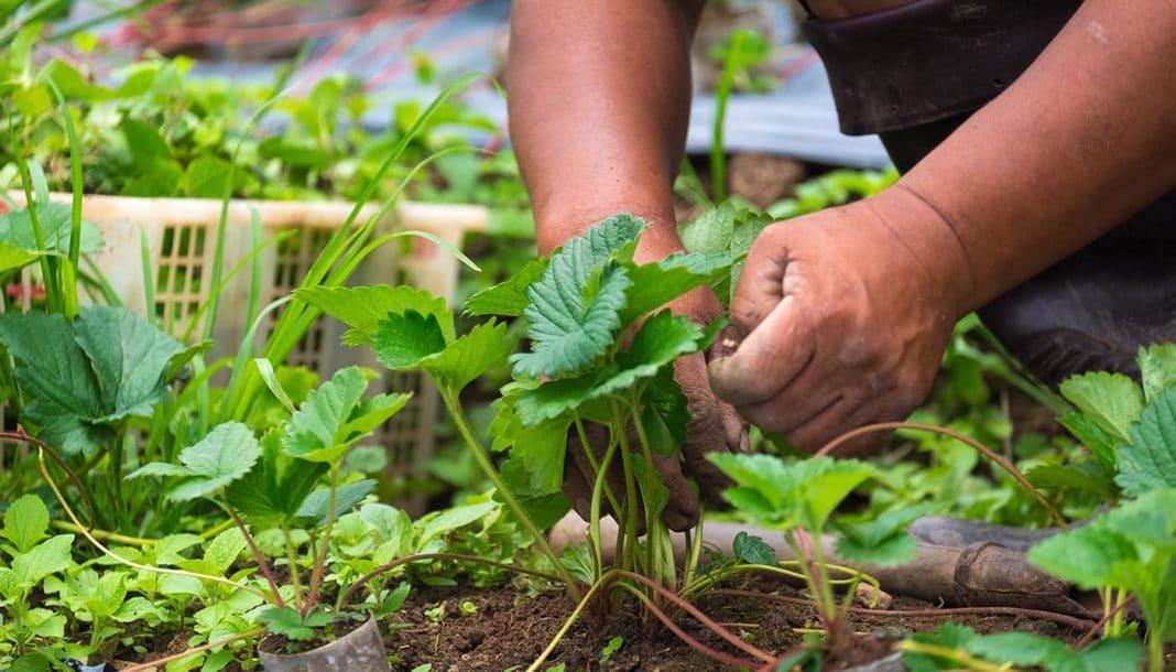 Обработка клубники весной от болезней и вредителей чем обработать