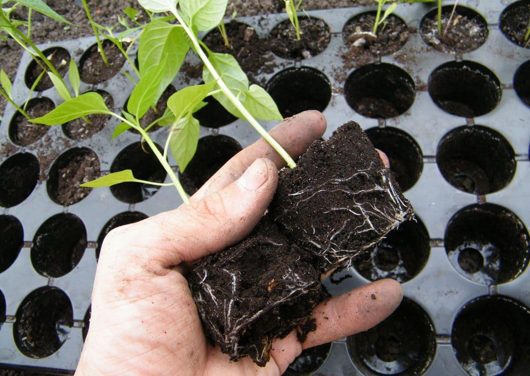 В какой ёмкости лучше выращивать рассаду?