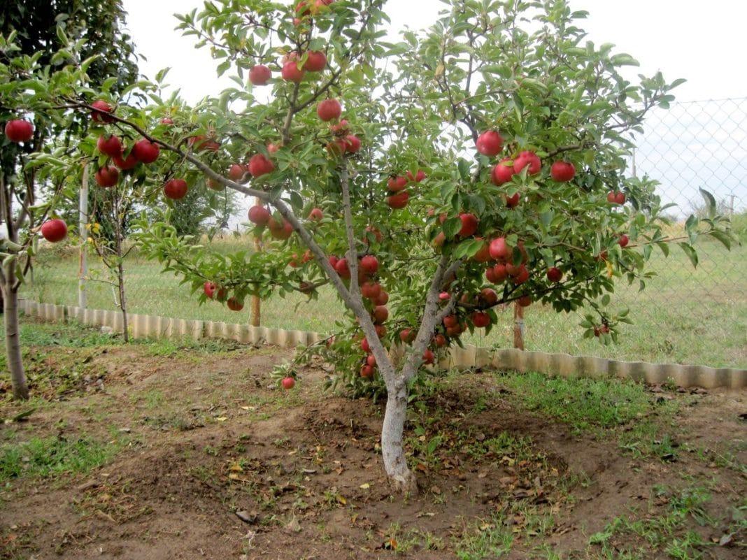 Как пересадить яблоню