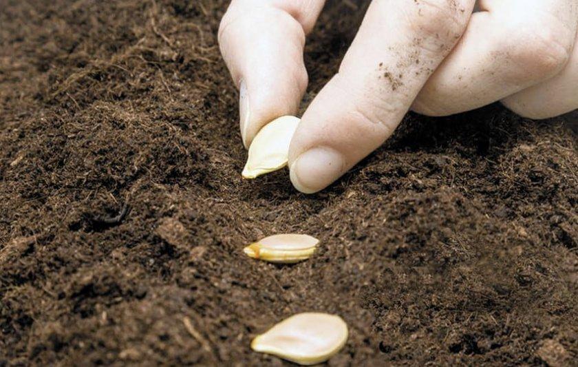 Как правильно выращивать тыкву в открытом грунте на даче, огороде: советы, видео