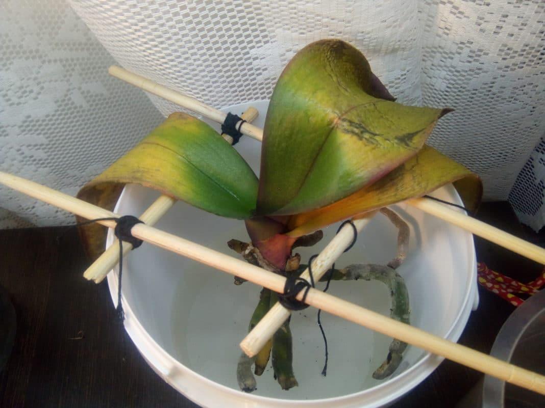 Янтарная кислота для орхидей — драгоценная подкормка для королевского цветка