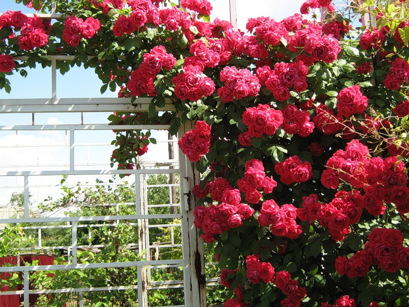 сидит своими плетистая роза кримсон рамблер фото обман