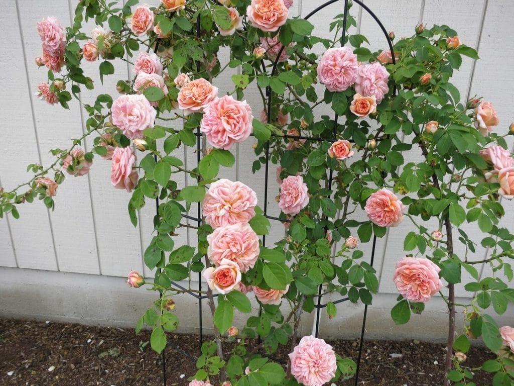Место для посадки плетистой розы