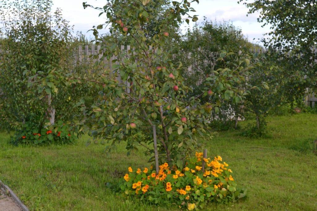 Что посадить под яблоней и как это повлияет на урожай яблок?