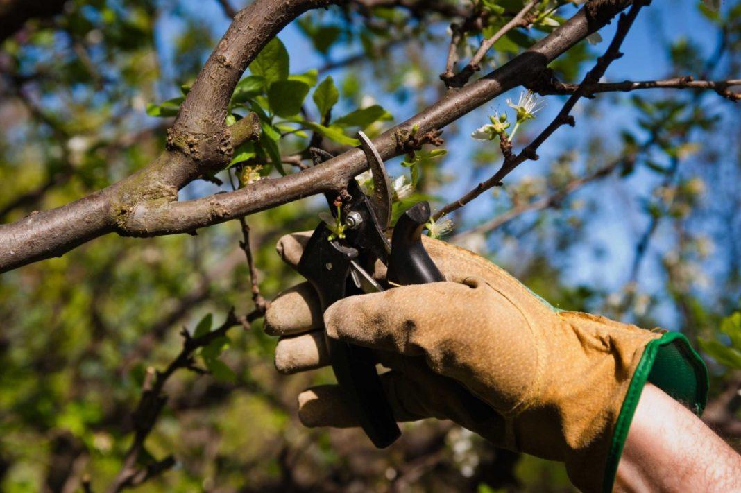 Обрезка кустов вишни