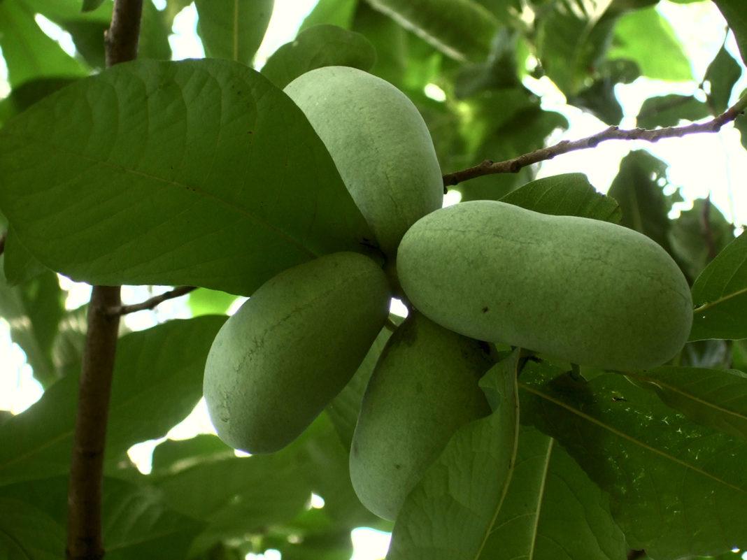 Как вырастить у себя на участке «банановое дерево»?