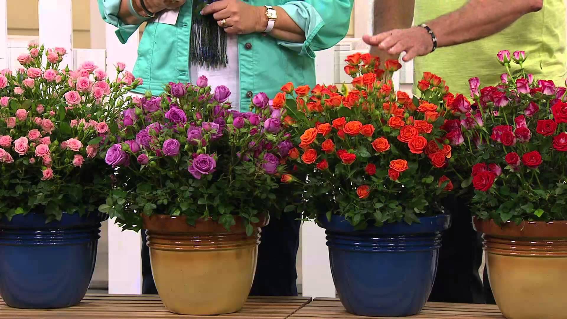 Как высадить на приусадебном участке горшечные розы?