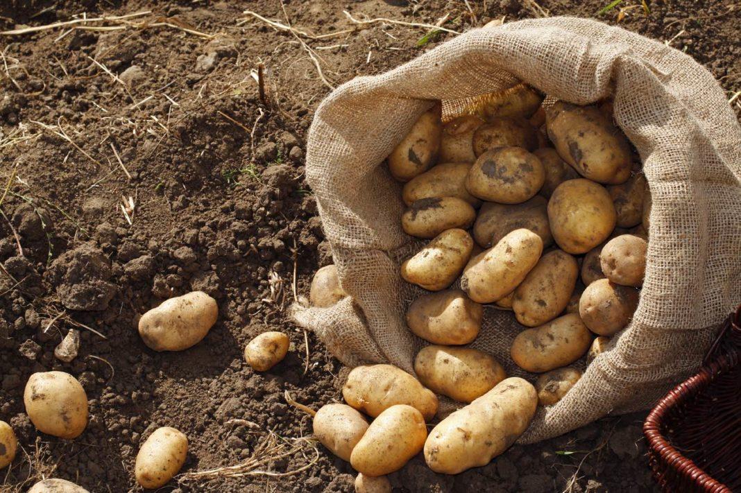 Мешок картофеля с 10-ти кустов методом посадки под картон