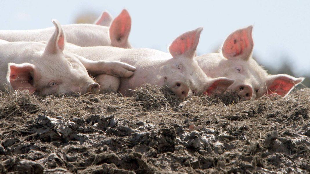 Преимущества и недостатки свиного навоза как удобрения