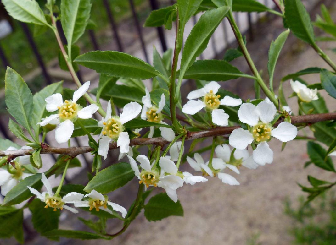 Принсепия - дерево, которое еще не так распространено в России, а зря
