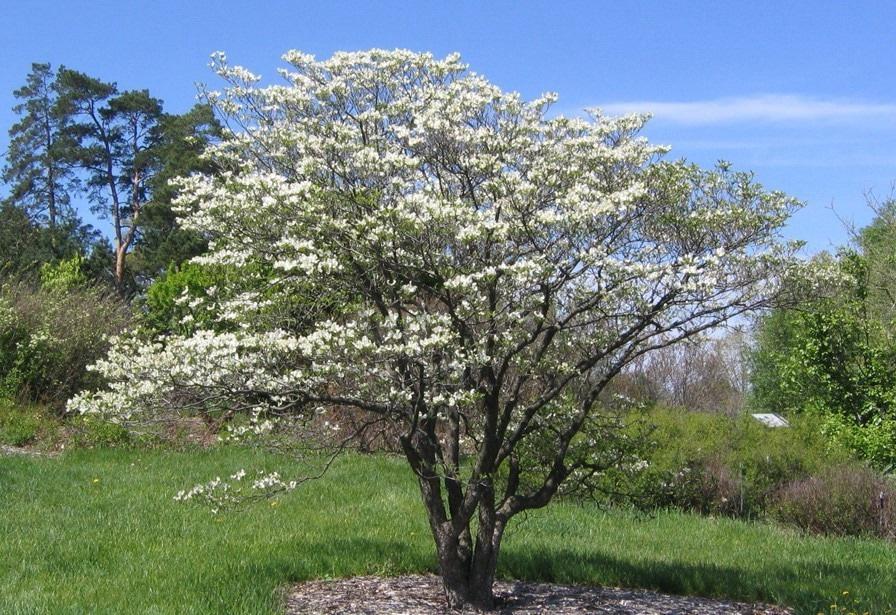 цветущий кизил