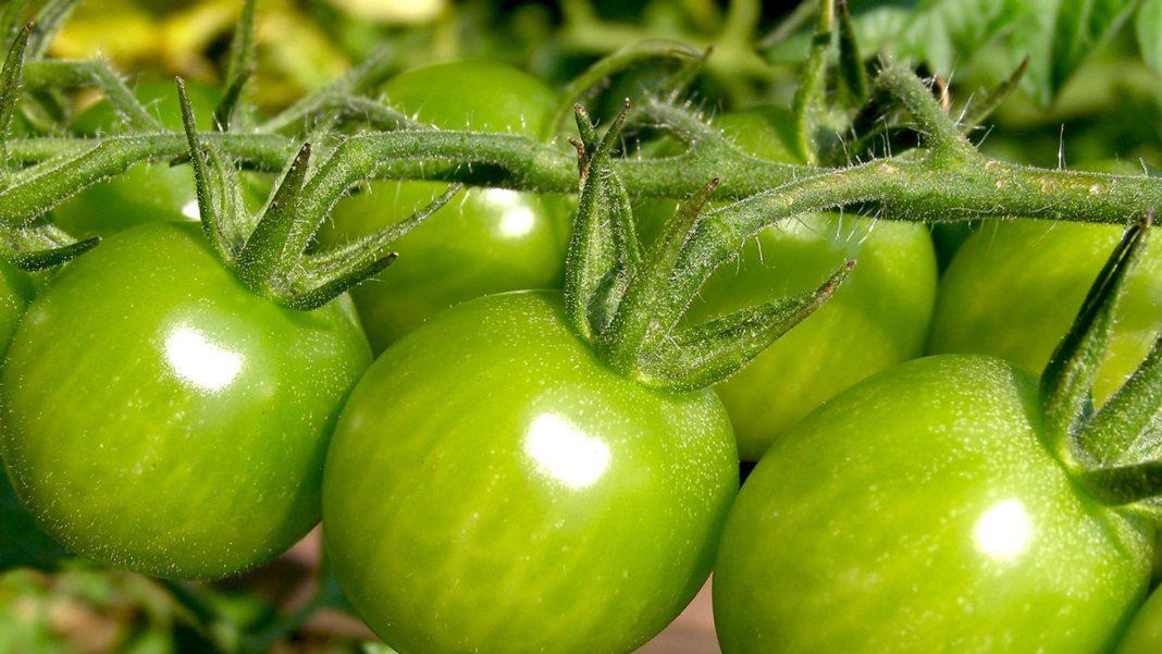 Помидоры, которые едят зелеными, что это за сорт?