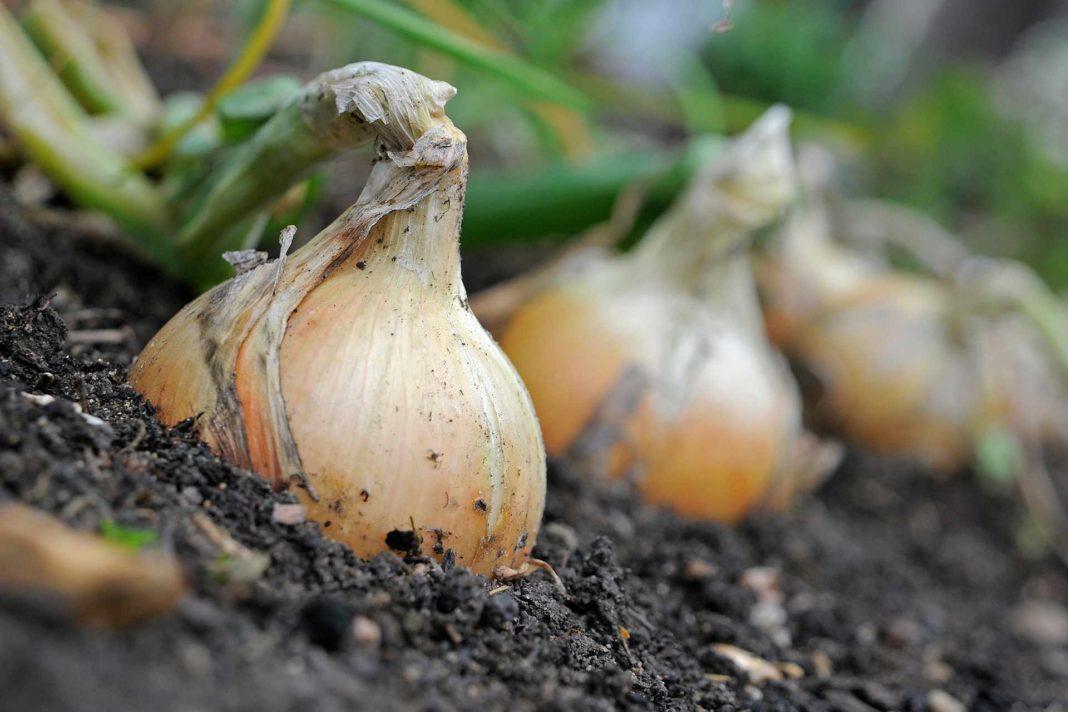 Верейский метод выращивания лука славящийся высокими урожаями