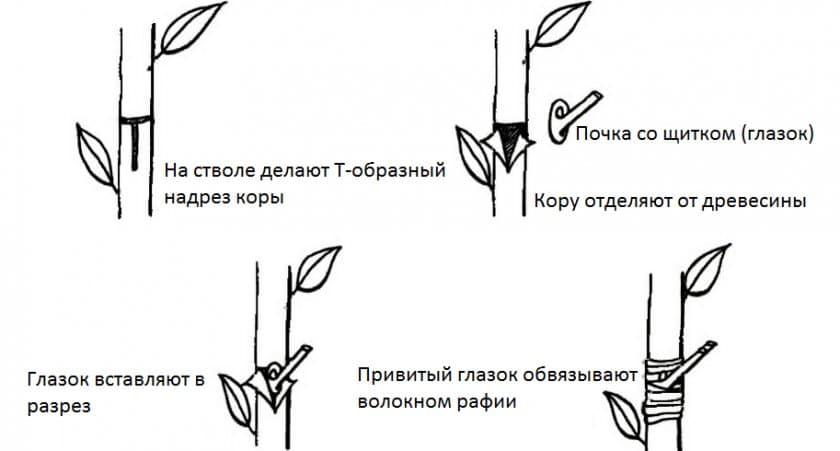 схема весенней окулировки