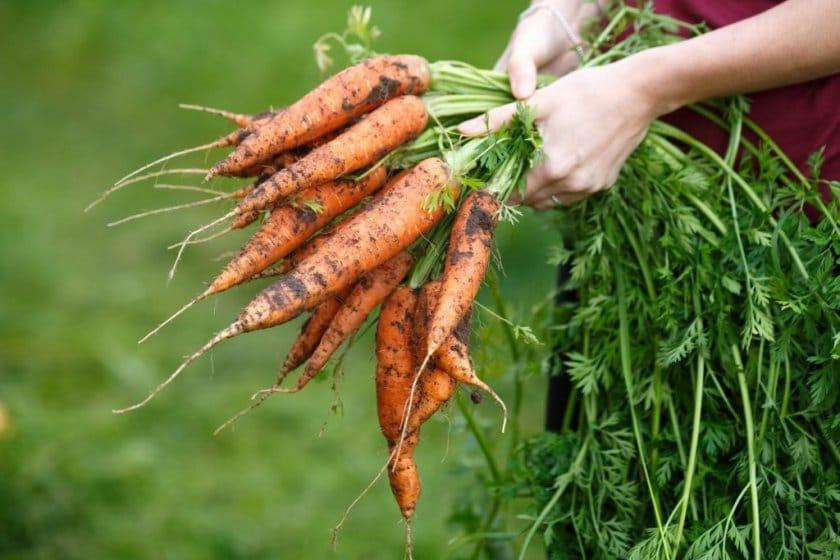 Уборка и хранение моркови: основные ошибки огородников