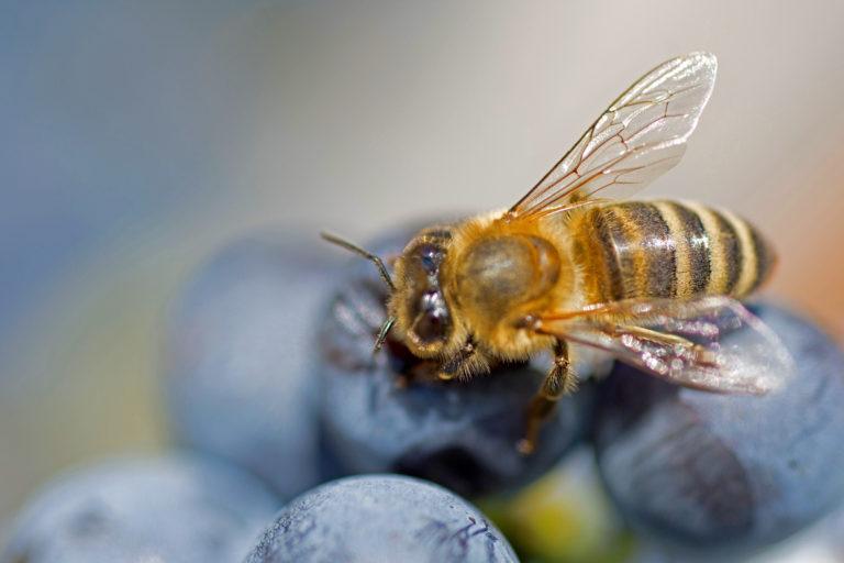 пчела на винограде