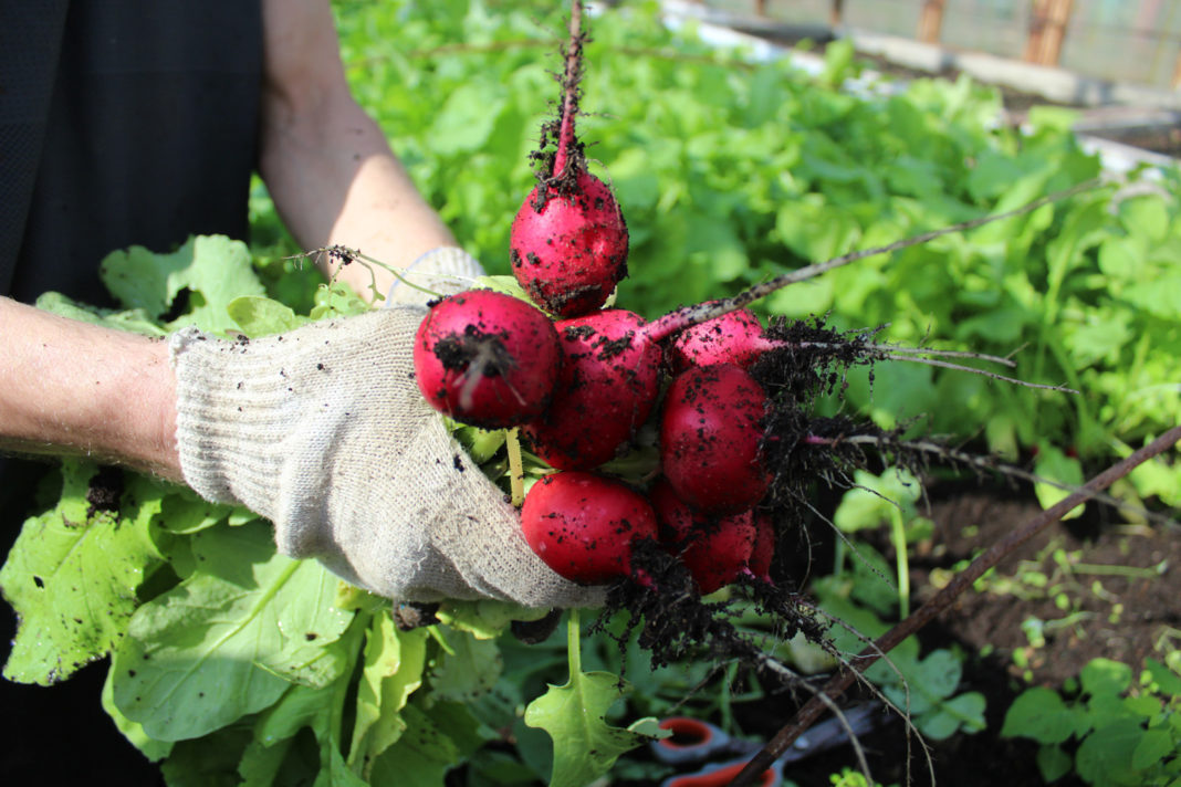 Августовский урожай редиса – самый удачный