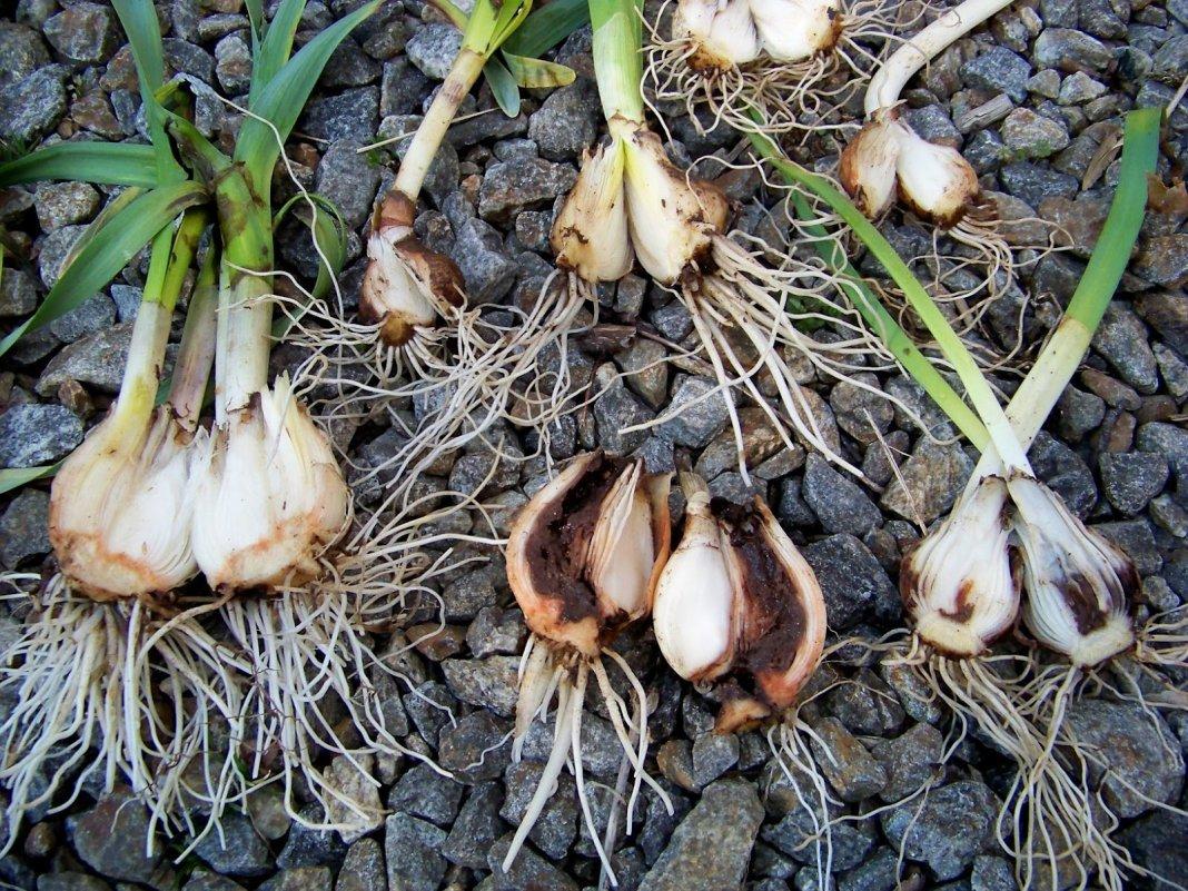 Чем полить лук от луковой мухи