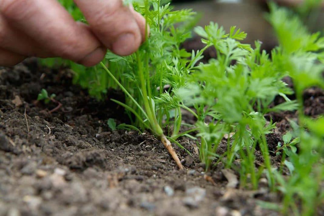 Как проредить морковь
