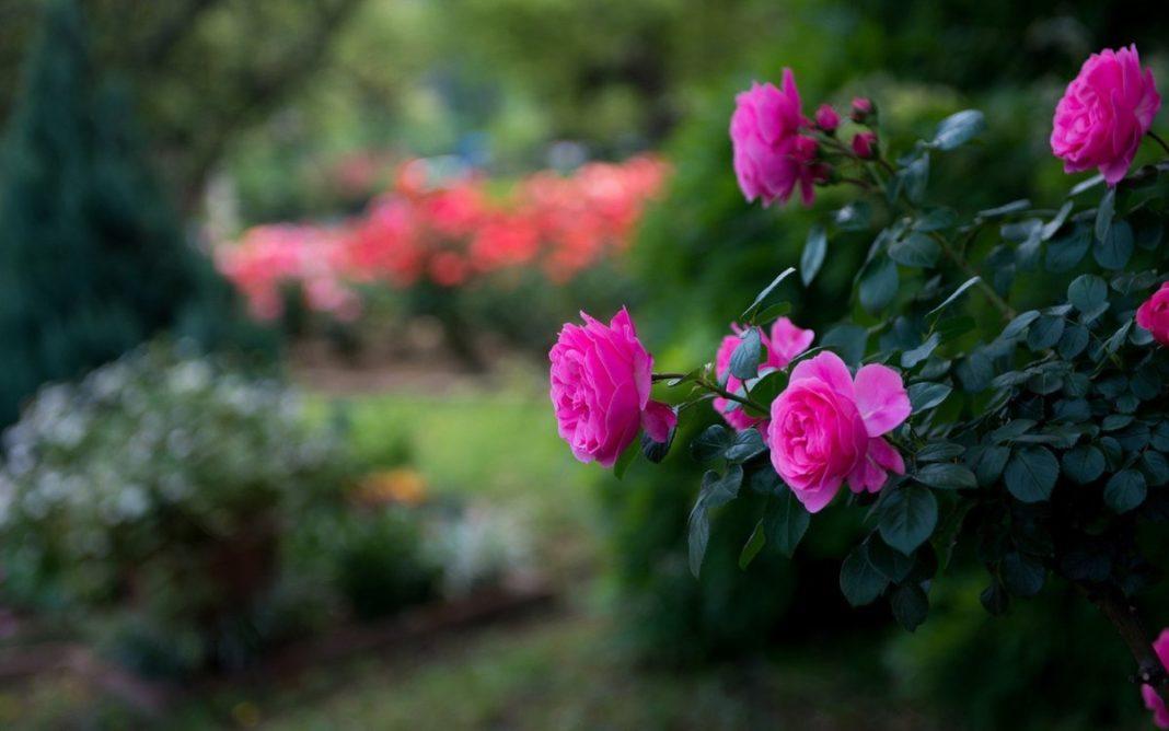 Обрезка роз летом