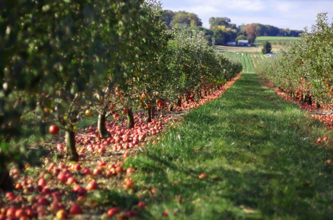 Расстояние между плодовыми деревьями