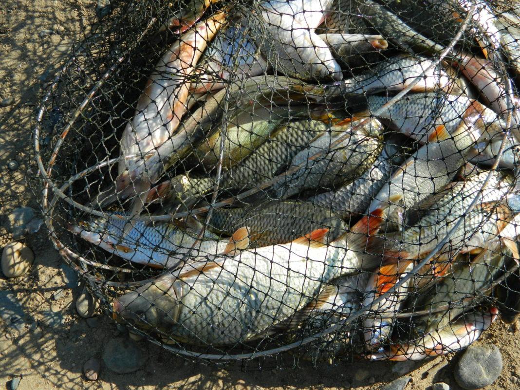 Удобрение на которое решится не каждый: польза рыбных отходов для участка