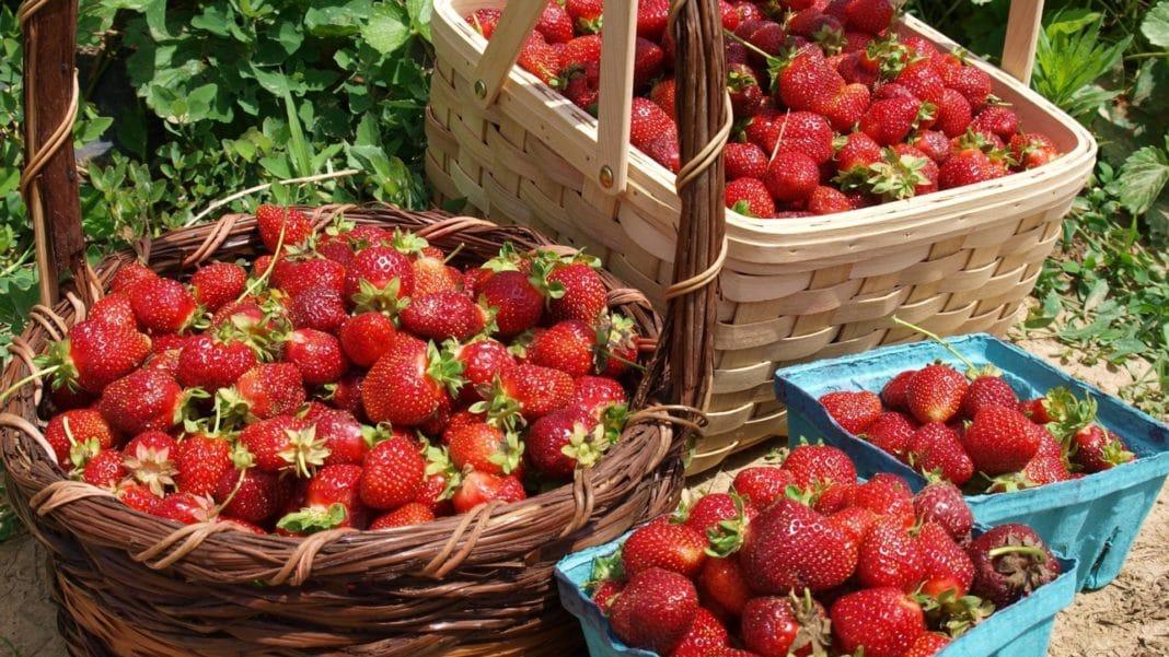 Мероприятия, позволяющие собрать в 2 раза больше ягод клубники на следующий год