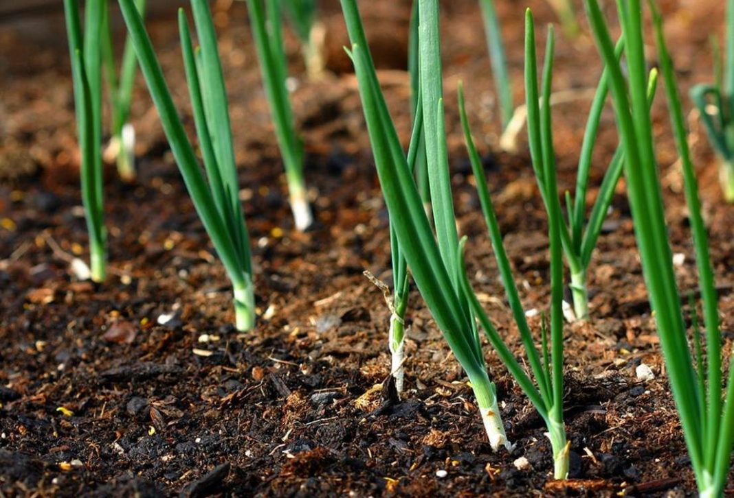 Зеленый лук в конце лета: как правильно ухаживать?