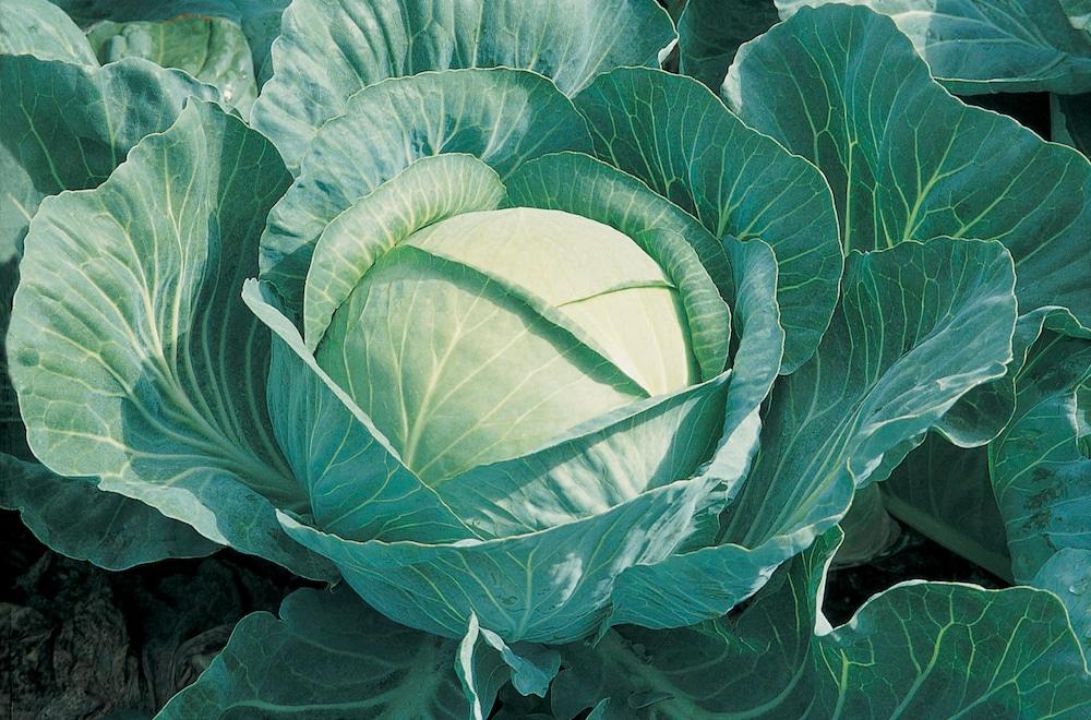 Семена капусты как вырастить самостоятельно в домашних условиях как получить