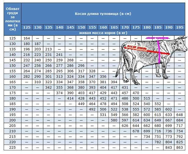 Как узнать вес быка без весов