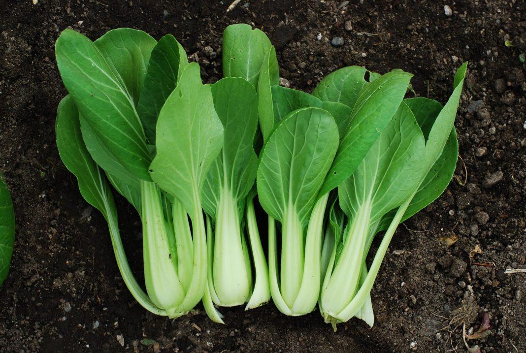 Уникальные свойства сорта капусты пак-чой и особенности ее выращивания