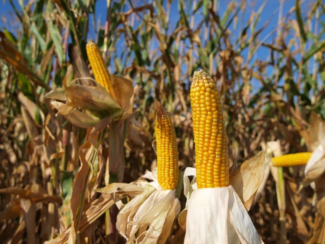 Когда созревает кукуруза
