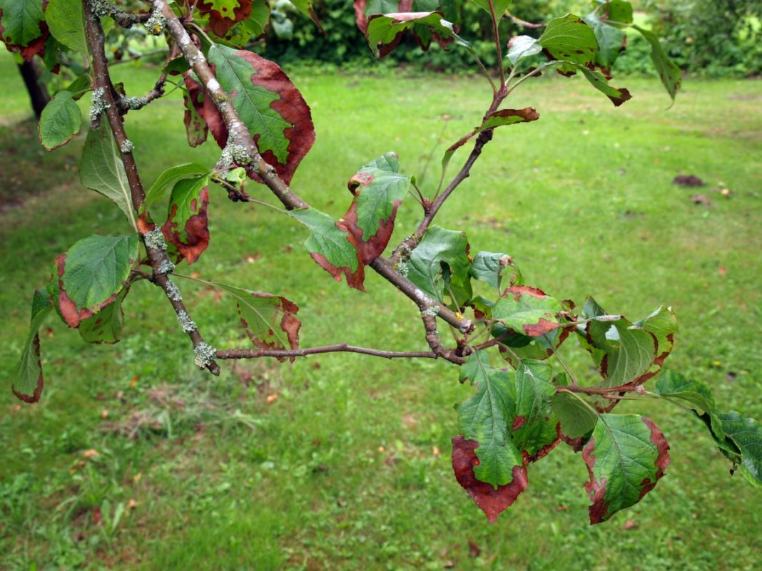 Почему у яблони не осыпаются листья осенью?