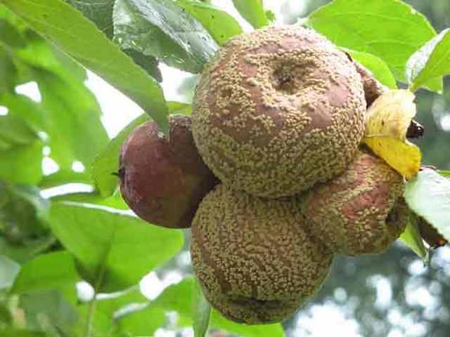 Почему плоды гниют прямо на дереве??