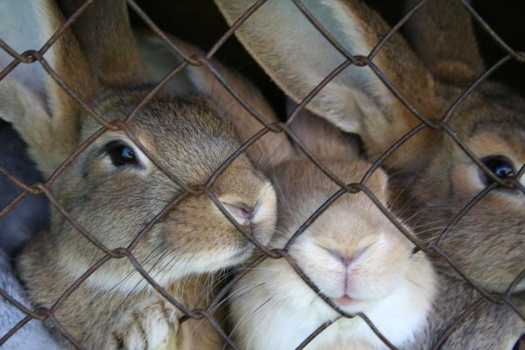 Как разводить кроликов