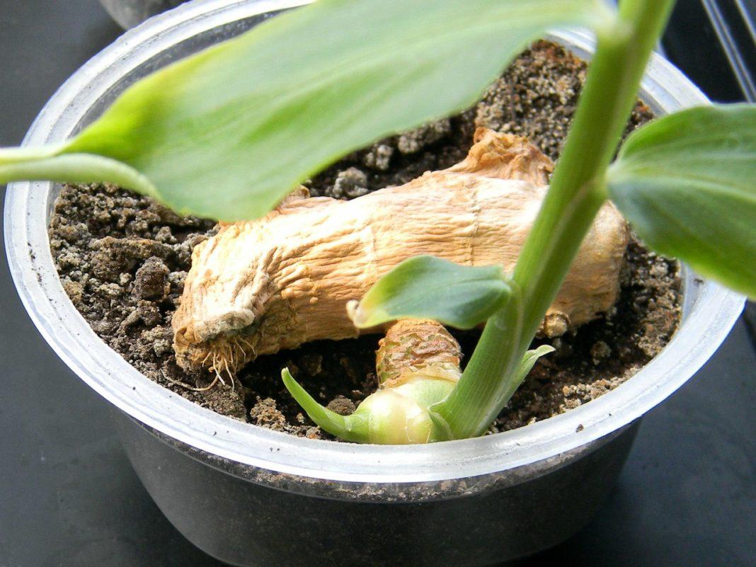 Инструкция по выращиванию имбиря на подоконнике и в открытом грунте