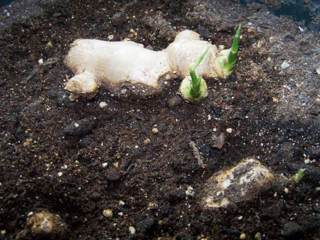 Как вырастить имбирь