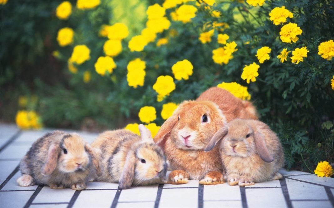 Когда отсаживать крольчат от крольчихи: в каком возрасте? || Когда крольчат отсаживают от крольчихи