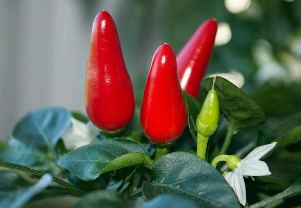 Перец в горшках: фото, технология выращивания в домашних условиях, какие семена посадить и как за ними ухаживать, чтобы получить урожай на подоконнике