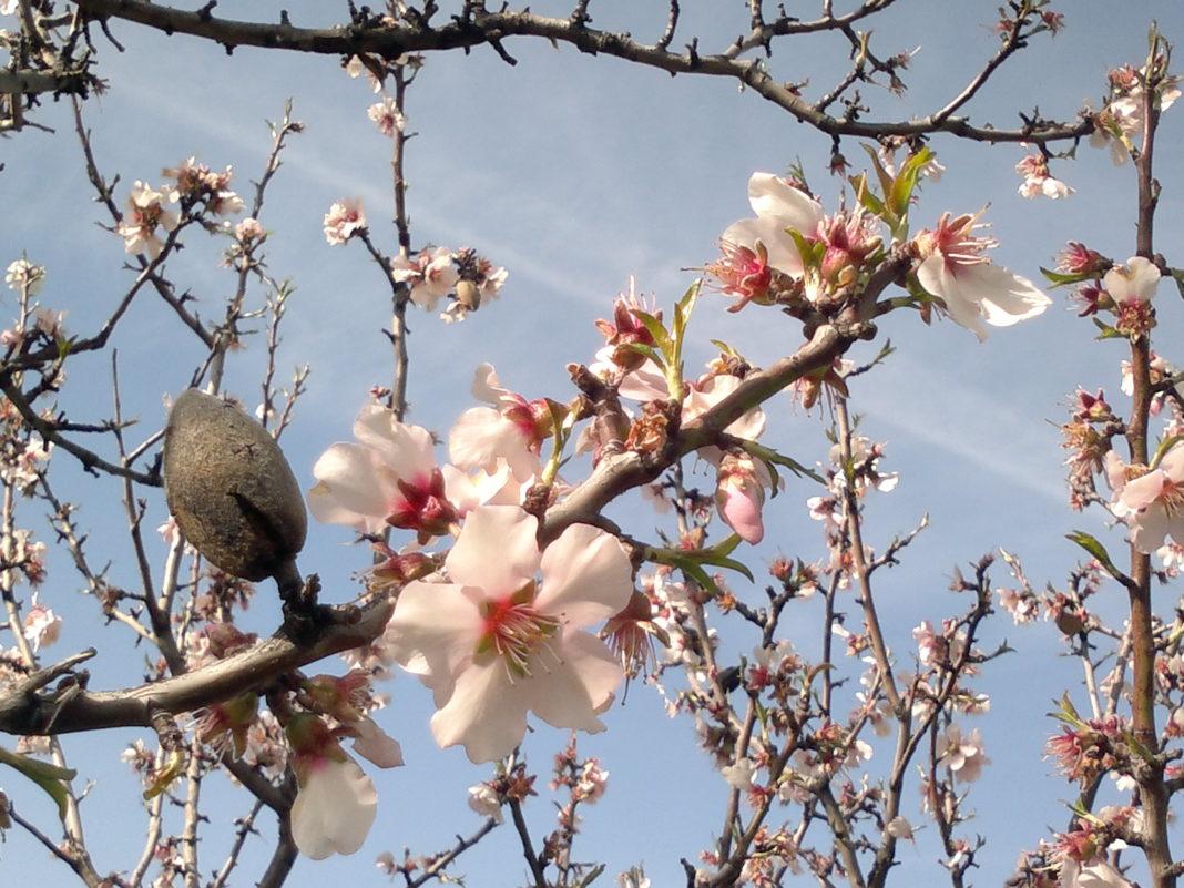 Миндальное дерево на участке: выбор сорта и особенности выращивания