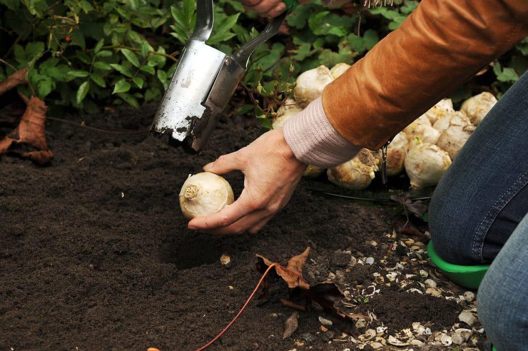Когда сажать гиацинты осенью в открытый грунт: советы специалистов