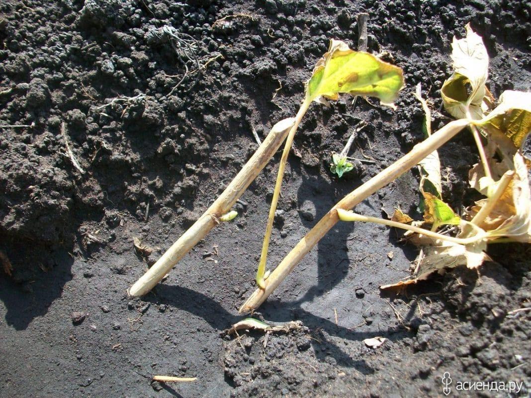 Размножение смородины осенью